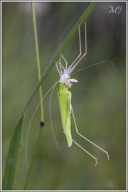 Grosse Sichelschrecke