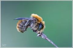 Grosse Harzbiene